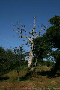 A blasted oak?